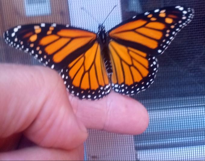 papillon-grand-monarque.jpg